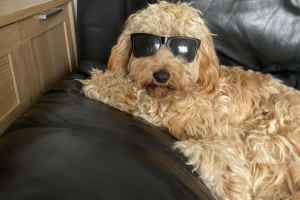 Cockapoo For Stud in Great Britain