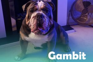 English Bulldog Online Ad