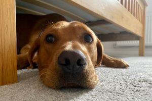 Labrador Retriever For Stud in the UK