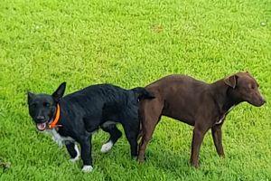 Patterdale Terrier Online Ad
