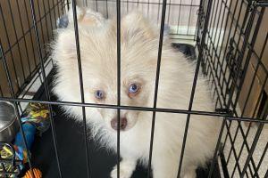 Pomeranian Dogs Breed
