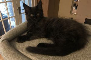 Maine Coons For Sale