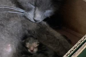 Russian Blues for Rehoming