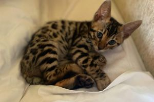 Available Bengals
