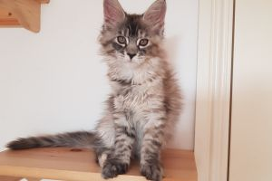 Maine Coon For Sale in the UK