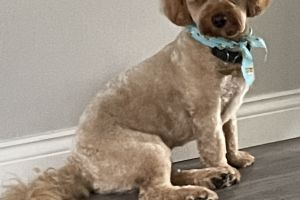 Cavapoo For Stud in the UK
