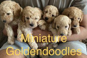 Goldendoodle Online Ad