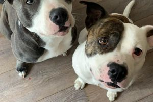 Staffordshire Bull Terrier For Sale in Great Britain