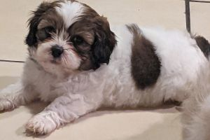 Shih-poos For Sale