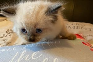 Ragdoll for Rehoming