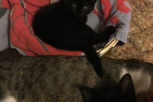 British Shorthair For Sale in Lodon