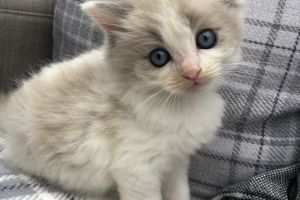 Ragdoll For Sale in the UK