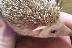 Available Pygmy Hedgehogs