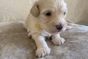 Maltipoo Advertisement UK Pets