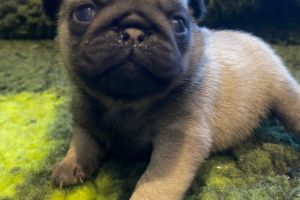 Pug For Sale in Lodon