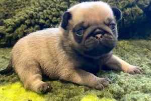 Pug Advertisement UK Pets