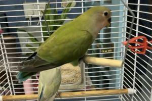 Lovebird For Sale in Lodon