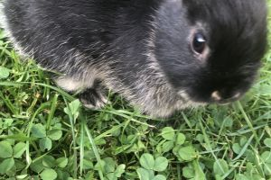 Netherland Dwarf for Rehoming