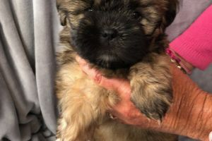 Shih-poos for Rehoming