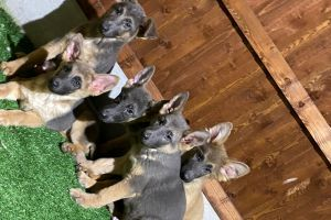 Available German Shepherds