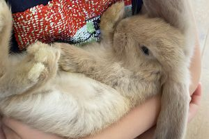 French Lop Rabbits Breed