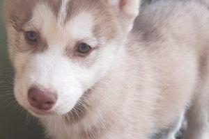Available Siberian Huskies