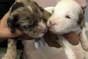 Cockapoo Dogs Breed