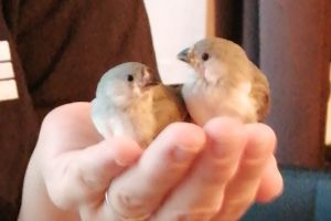 Available Finches