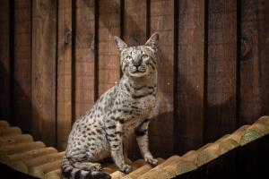 Savannah Cat For Sale in Lodon