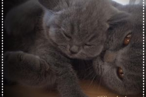 British Shorthair For Sale in Great Britain
