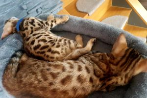 Bengals For Sale
