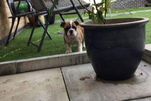 English Bulldog for Rehoming