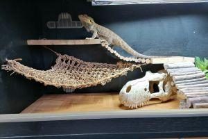 Bearded Dragon For Sale in Lodon