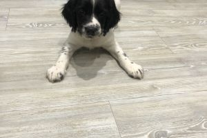 English Springer Spaniels for Rehoming