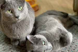 Russian Blue For Sale in Great Britain