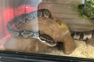 Python Snakes For Sale