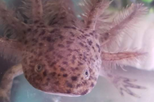 Axolotl Advertisement UK Pets
