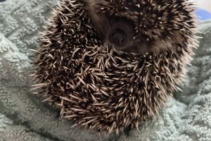 Pygmy Hedgehog for Rehoming
