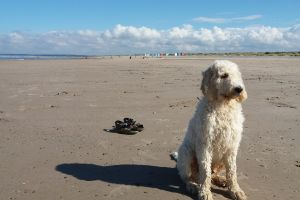 Goldendoodle Online Listings
