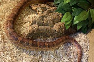 Corn Snake Online Listings