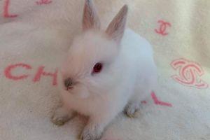 Netherland Dwarf Rabbits Breed