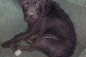 Patterdale Terrier For Sale in the UK