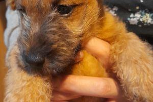 Lakeland Terriers for Rehoming
