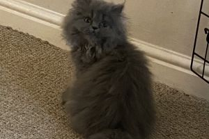 Persians for Rehoming