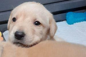 Labrador Retriever For Sale in Lodon