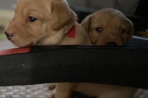 Labrador Retriever Advertisement UK Pets