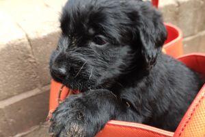 Labradoodle Advertisement UK Pets