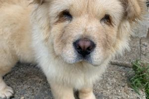 Chow Chow For Sale in Lodon
