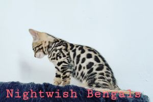 Bengal For Sale in Lodon