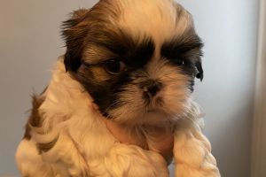 Available Shih Tzus